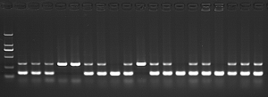 Add 200 μl of this buffer to tail. Boil for 30 min. Cool down. Use 1 μl DNA for genomic PCR